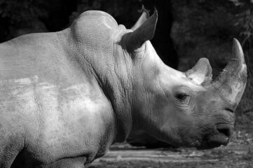 black and white photo of a rhinoceros