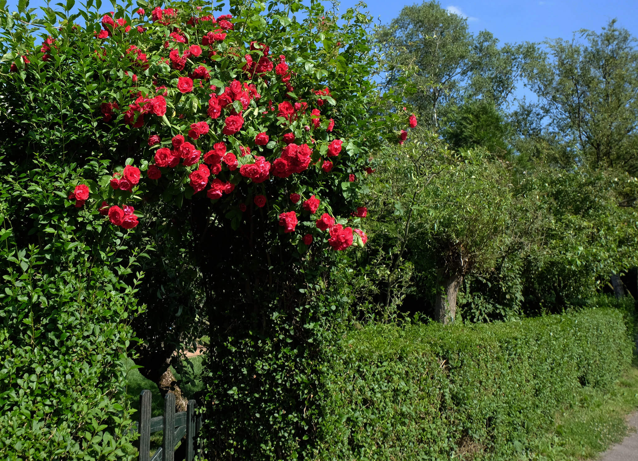 photo of roses above garden gate