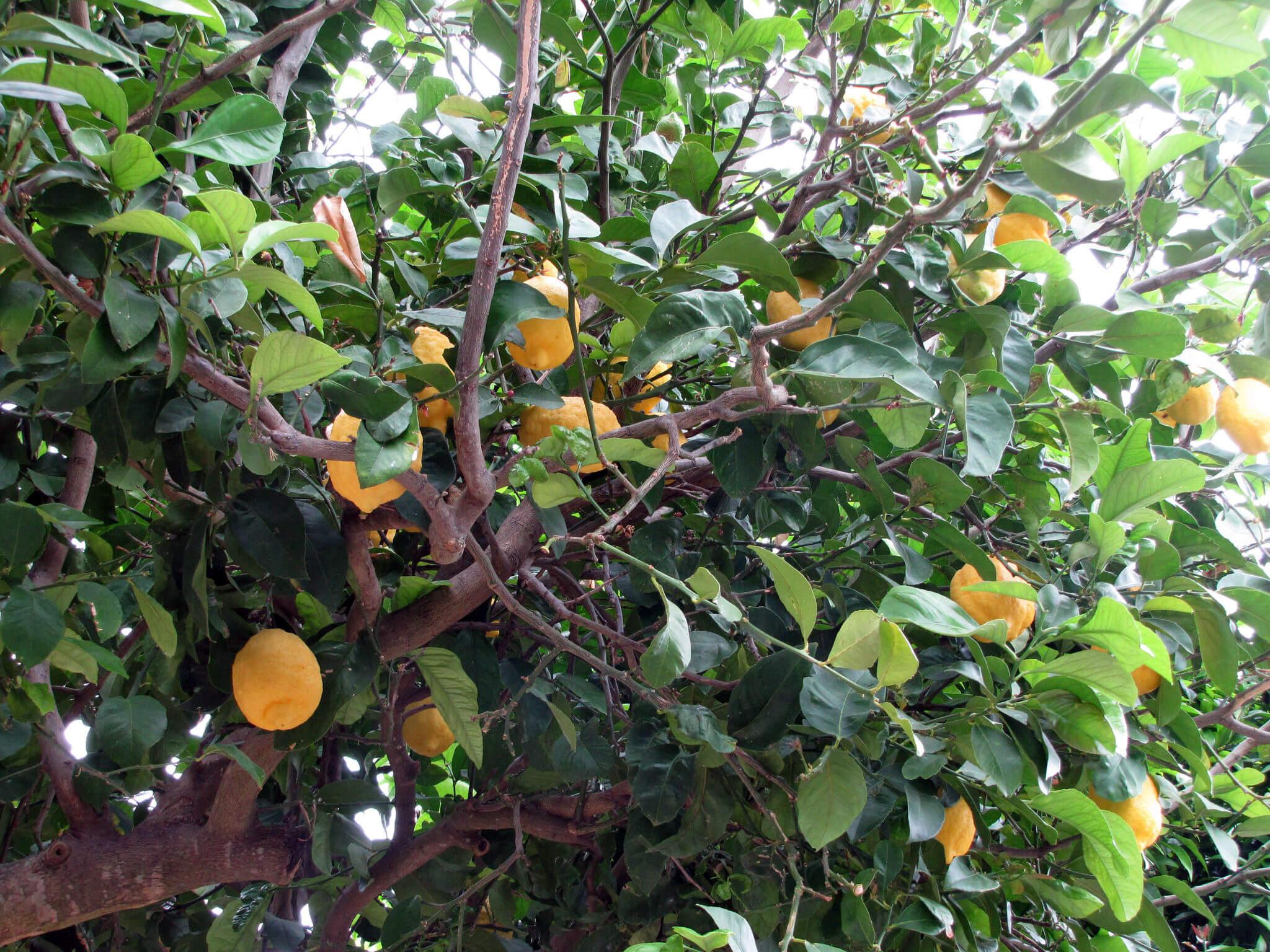 photo of a lemon tree