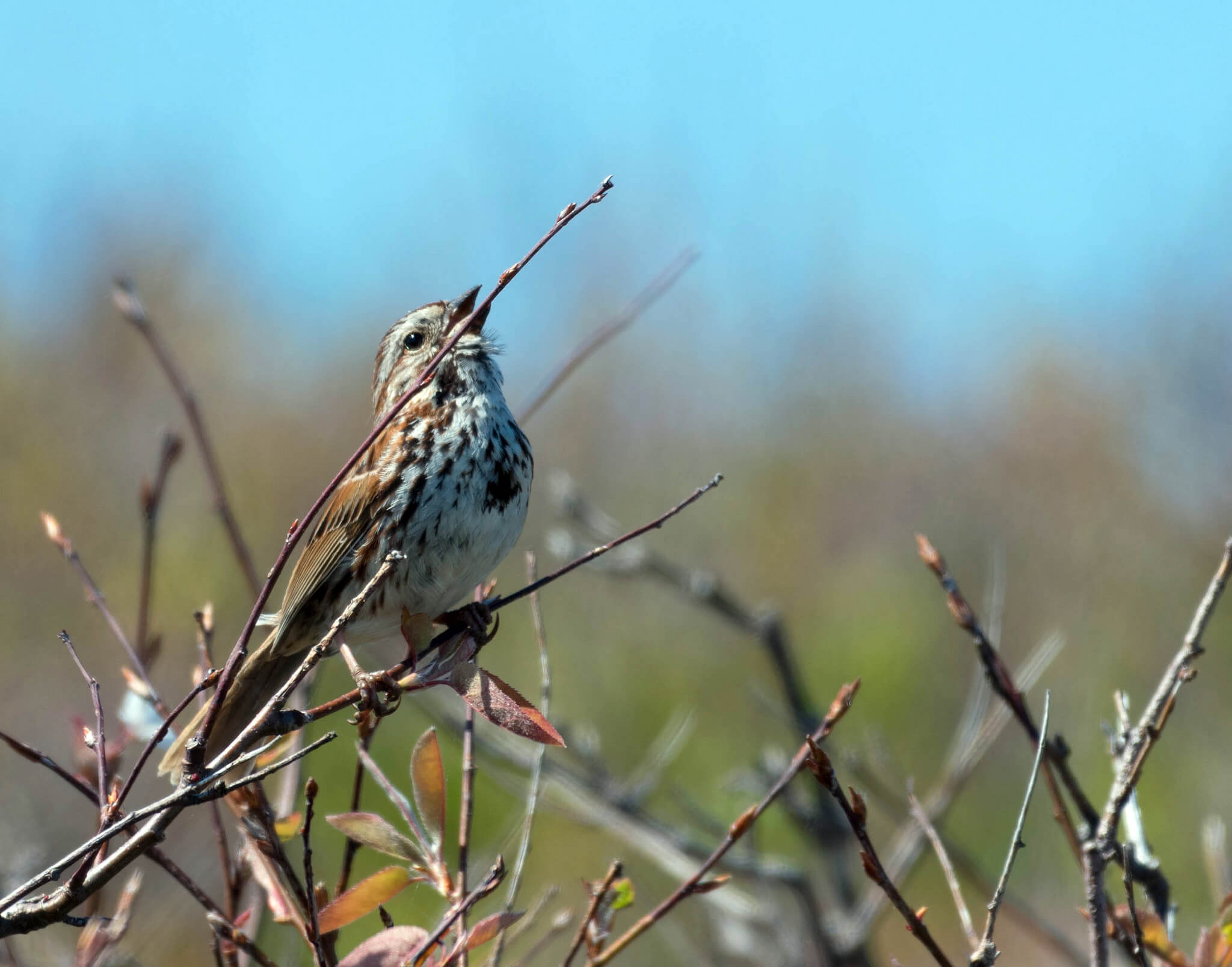 photo of a sparrow