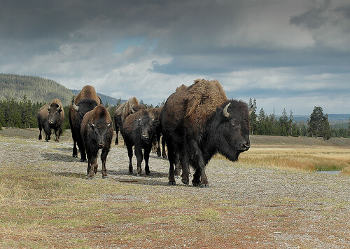 photo of group of buffalo