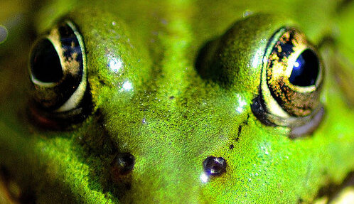 photo of a frog's face