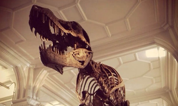 photo of Tyrannosaurus Rex skelton in a museum