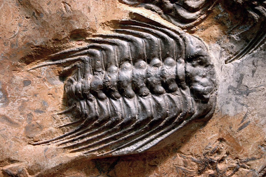 photo of trilobite