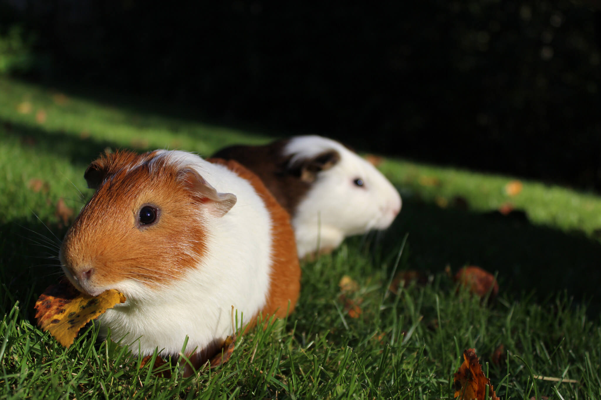photo of two guinea pigs in grass