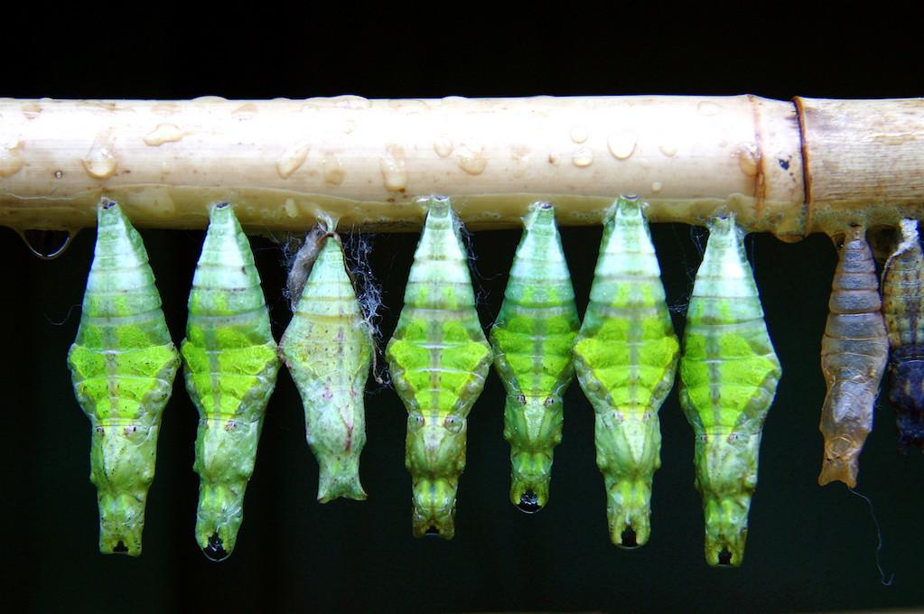 photo of chrysalises