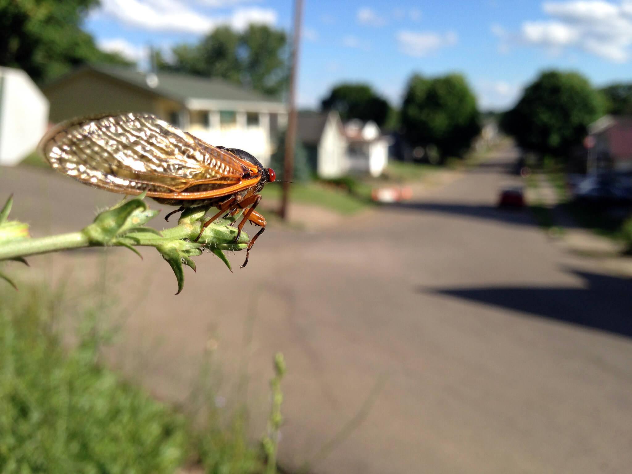 photo of cicada