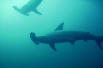 photo of hammerhead sharks