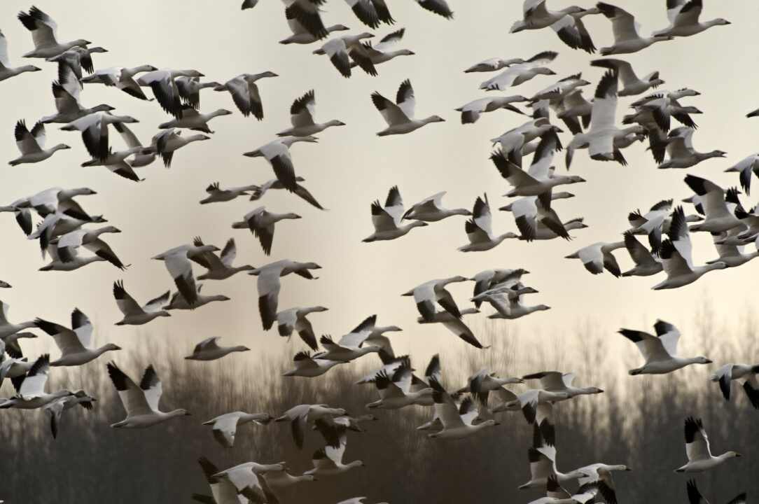 photo of snow geese in flight