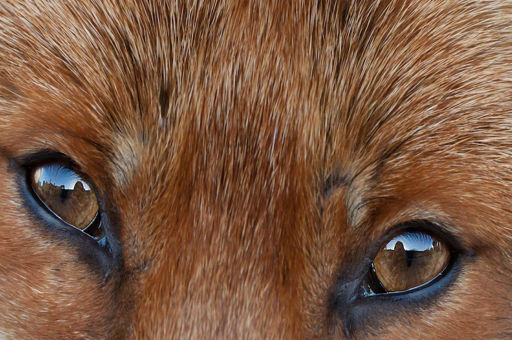 photo of fox eyes