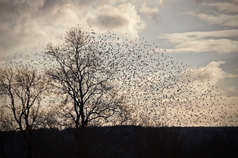 photo of starlings in flight